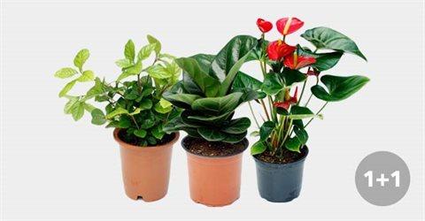 공기정화식물 중/대형 화분 1+1