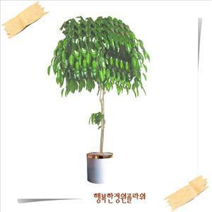 킹벤자민/벤자민/자마이카/자바/인디아