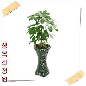 대엽홍콩/주필란다스/무료배송/공기정화식물