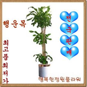 행운목/1.6M/1.8m/축하화분/무료배송
