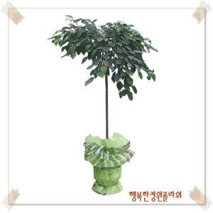 킹벤자민/80cm/공기정화식물/축하화분/무료배송