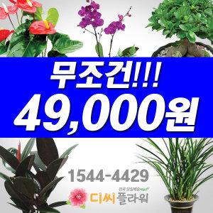 관엽화분/축하난균일가 49000원 부산/북구 꽃배달