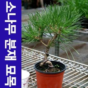 해송 소나무 분재 묘목 공기정화식물 피톤치드
