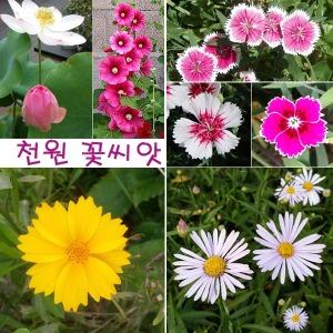 (천원 꽃씨)안개꽃/코스모스/매발톱/산국/연꽃씨앗
