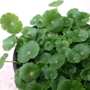 워터코인/수경식물
