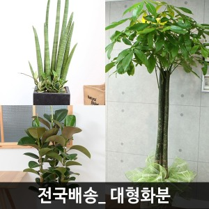 대형화분 대형관엽 이전 개업 축하 승진 전시 꽃배달