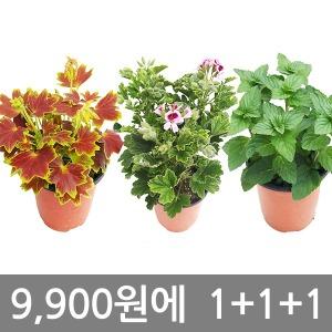 모기퇴치식물1+1+1/구문초/벤쿠버/야래향/미니화분