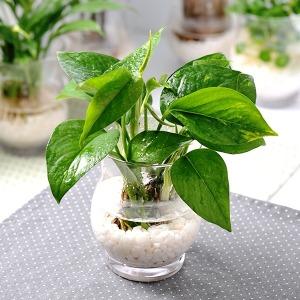 가꾸지오  수경재배식물 라인글라스 16종 택 1