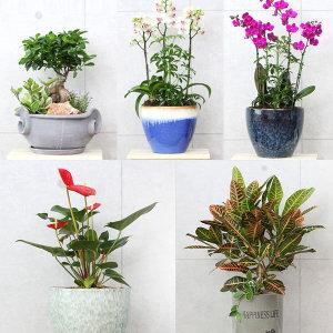 관엽식물 화분 개업 축하 승진 서양난 생일 꽃배달