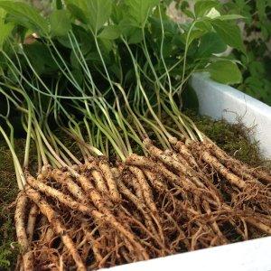 장성 새싹삼 150뿌리