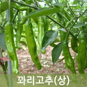 꽈리고추(상) 4kg  두리반농산
