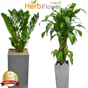공기정화식물 30종꽃배달 대박나무화분 돈나무 행운목