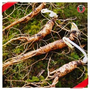 산양산삼 5년근 10뿌리 선물세트 산양삼 장뇌삼