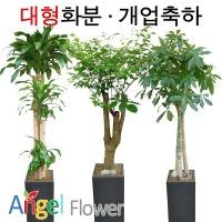 초특가 특대형화분 행운목 대박나무 전국당일꽃배달