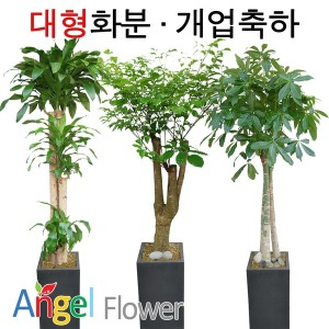 초특가 특대형화분 대박나무 행운목  전국당일꽃배달