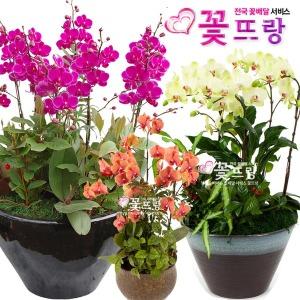 서양란/호접란 만천홍 개업식선물전국꽃배달 축하선물