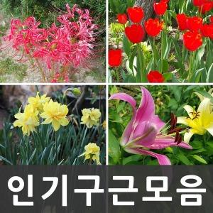 인기구근특가/ 꽃무릇 / 튤립 / 수선화 / 백합 / 구근