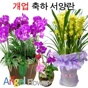 화려한서양란 BEST 개업승진호접란/만천홍 당일꽃배달