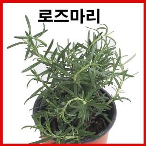 로즈마리 허브 장미허브 석화 행운목 다육식물 율마