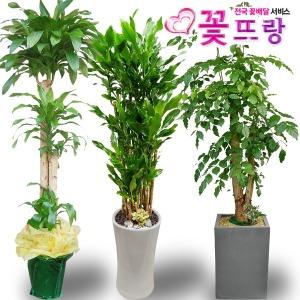 전국배송 2m대형화분 행운목 개업화분 축하화분꽃배달