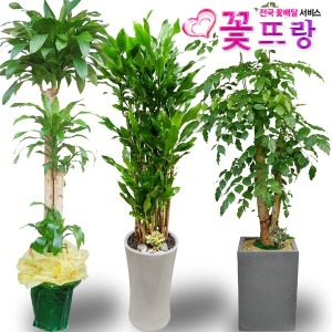 2m대형화분 개업화분 축하화분 행운목 전국당일꽃배달