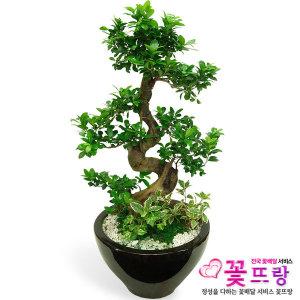 가지마루분재 꽃배달 개업선물/공기정화식물/관엽식물