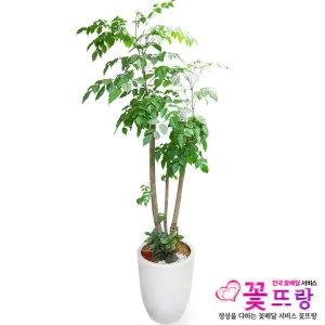 녹보수 전국꽃배달 개업선물/공기정화식물/관엽식물