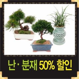 분재 소나무분재 승진 취임 개업화분 동양란 서양란