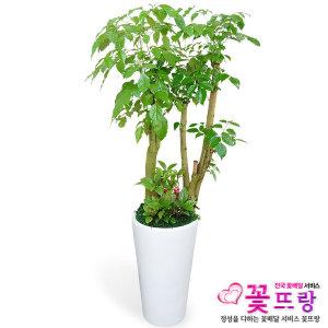 녹보수(대박나무) 개업선물/공기정화식물/전국꽃배달
