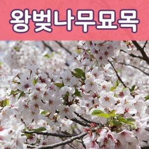 (태영원예묘목)왕벚나무묘목 2년생