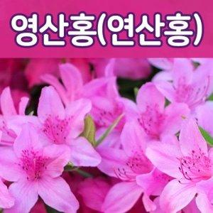 (태영)영산홍 5주묶음(백철/자산홍/베니)