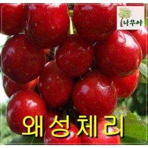 왜성체리접목1년특/철쭉/나무/묘목/자두/구기자/사과