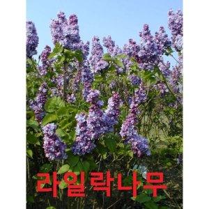 나무야 라일락1년생15주묶음/묘목/유실수/라일락/꽃