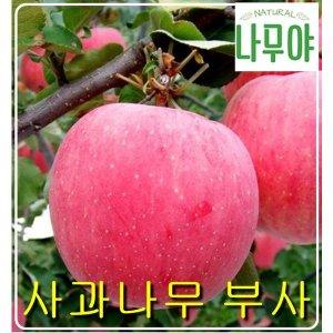 나무야 사과나무 부사접1특/ 묘목/유실수/사과나무