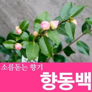 소울라인 사랑스런향기 향동백 동백나무 공기정화식물