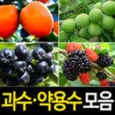 (순희농장)초특가/과수/과실수/약용수/과일나무묘목