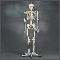 전신골격모형/인체실습/180cm/이동식스텐드/골격모형