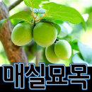 순희농장/매실나무묘목/매실나무(천매)/왕매실나무/홍