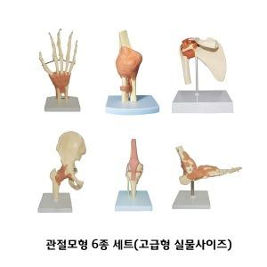 관절모형 6종세트/관절/인체모형(1:1)/실제크기