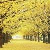 직소퍼즐 - 1000조각 황금빛 은행나무길 PL1332 액자