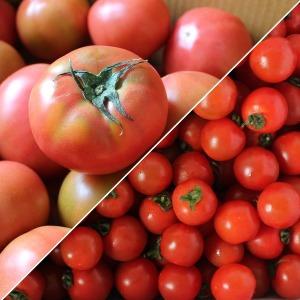 만족도98% 완숙토마토 5kg 1-2번 대과 9900원 특가