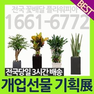 대형 개업화분/축하 화분배달/꽃배달서비스/관엽식물