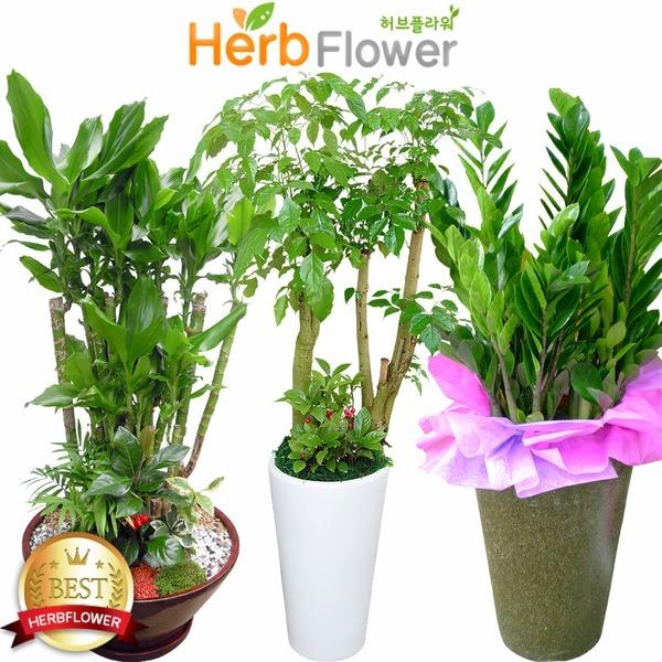 공기정화식물 대박나무화분 금전수 행운목 당일꽃배달