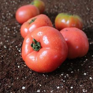 만족도98%  완숙토마토 정품 토마토 5kg /3kg 11900