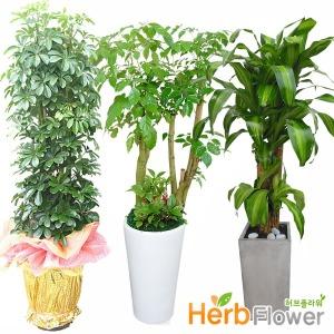 중대형화분 행운목 공기정화식물 개업화분 당일꽃배달