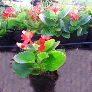 나무팜 꽃베고니아모종(포트12개/한판)1년내내피는꽃
