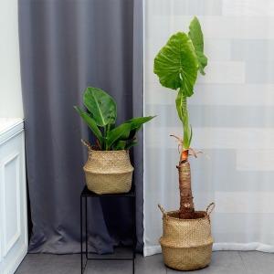 공기정화식물 대형식물 극락조 아레카야자 행운목