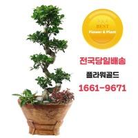 가지마루 개업식 집들이 승진 취임 선물 관엽 식물