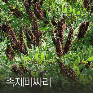족제비싸리 1kg 족제비싸리씨 쪽싸리종자 야생화씨앗