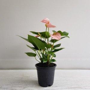 (온누리꽃농원) 안시리움(핑크)/공기정화식물/꽃